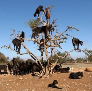 kambing-memanjat