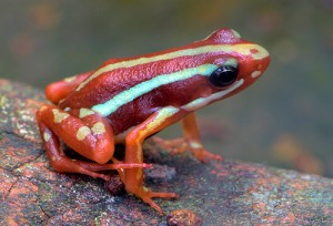 poiso-arrow-frog-1