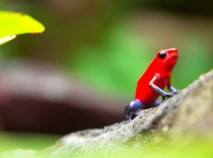 poiso-arrow-frog-2